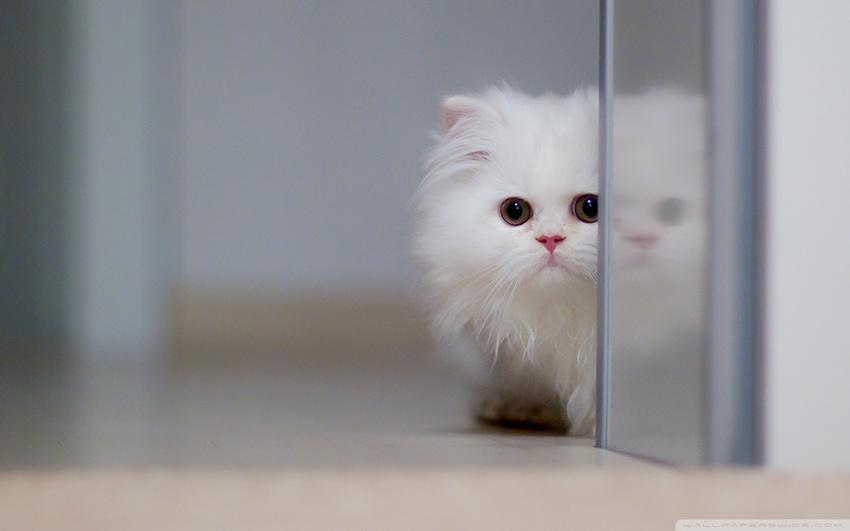 Top 32 lovely and cute wallpapers simplefreethemes a gorgeous persian kitty hiding behind a wall a very cute and simple wallpaper for people who love white color voltagebd Image collections