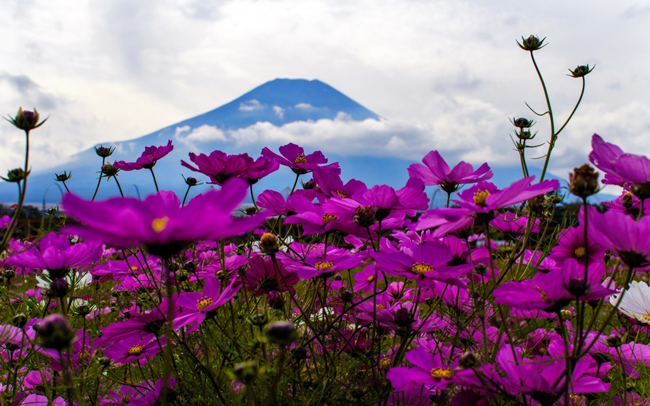 A beautiful wallpaper of mountain purple windflowers where the main focus is on the flowers. You can also see mountains and clouds behind which are out of ...